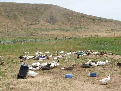 Morning Owl Farm ducks